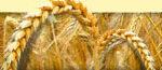49 Применение гумата натрия при возделывании озимой пшеницы в условиях орошения