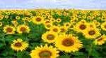 54 Гумат натрия как фактор, повышающий устойчивость растений  к загрязнителям биосферы