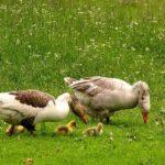 845 Як визначити стать у гусенят і дорослих гусей