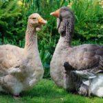 907 Популярні породи гусей: тулузька