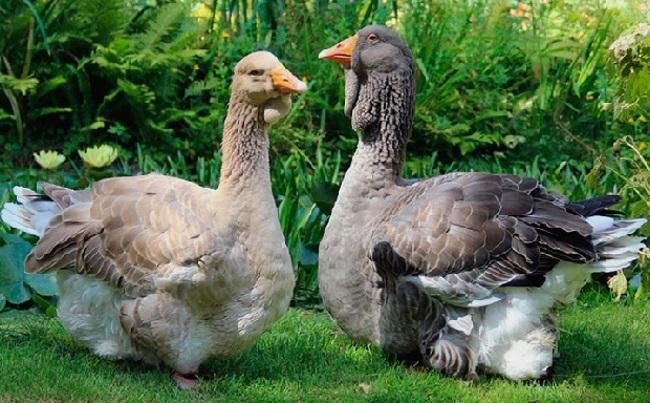 Популярні породи гусей: тулузька