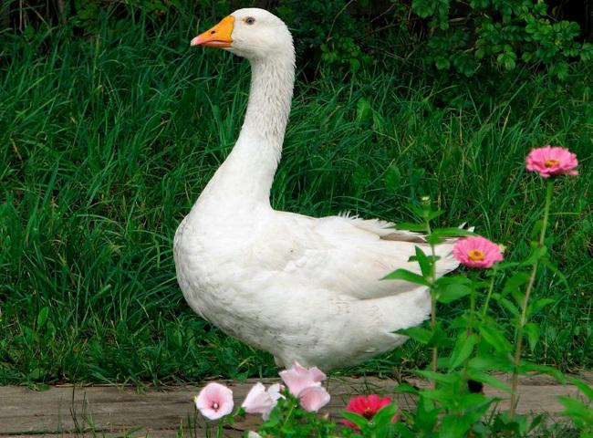 909 Розмноження гусей