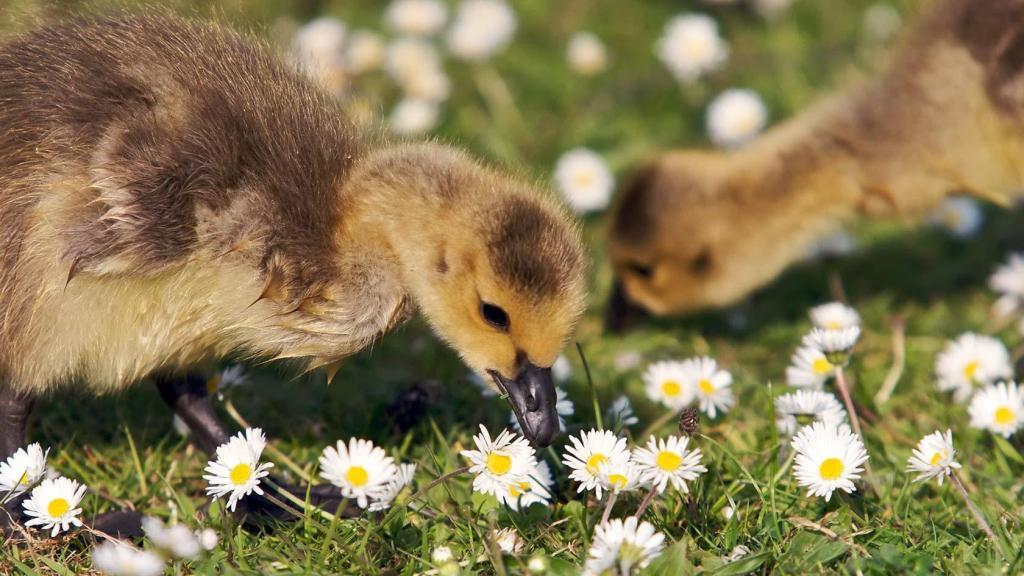 Особливості годування гусей