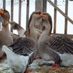 927 Переваги розведення гусей
