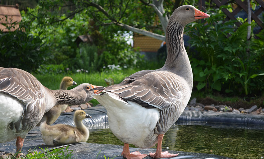 Популярні породи гусей: велика сіра