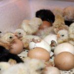 1117 Правила інкубації курячих яєць