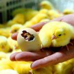 1494 Виведення курчат в інкубаторі