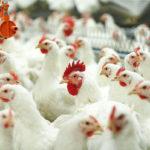 1822 Розведення курчат бройлерів