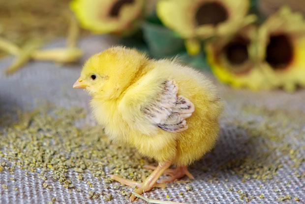 Годування курчат