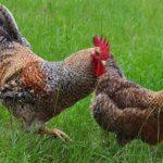 2179 М'ясо-яєчні породи курей