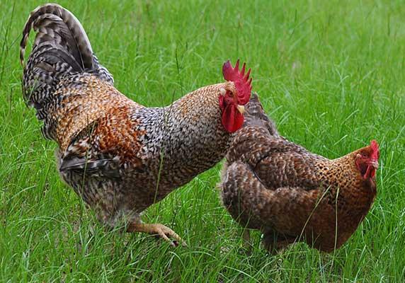 М'ясо-яєчні породи курей