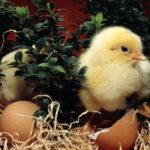 2188 Розведення курчат