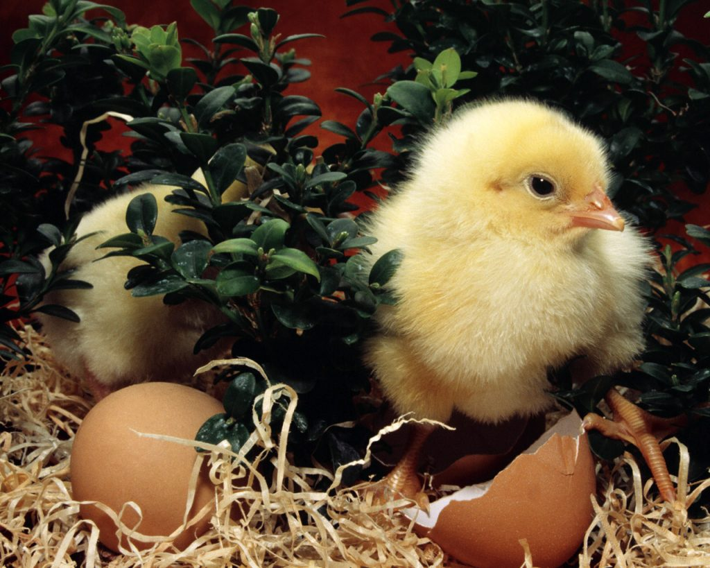 Розведення курчат