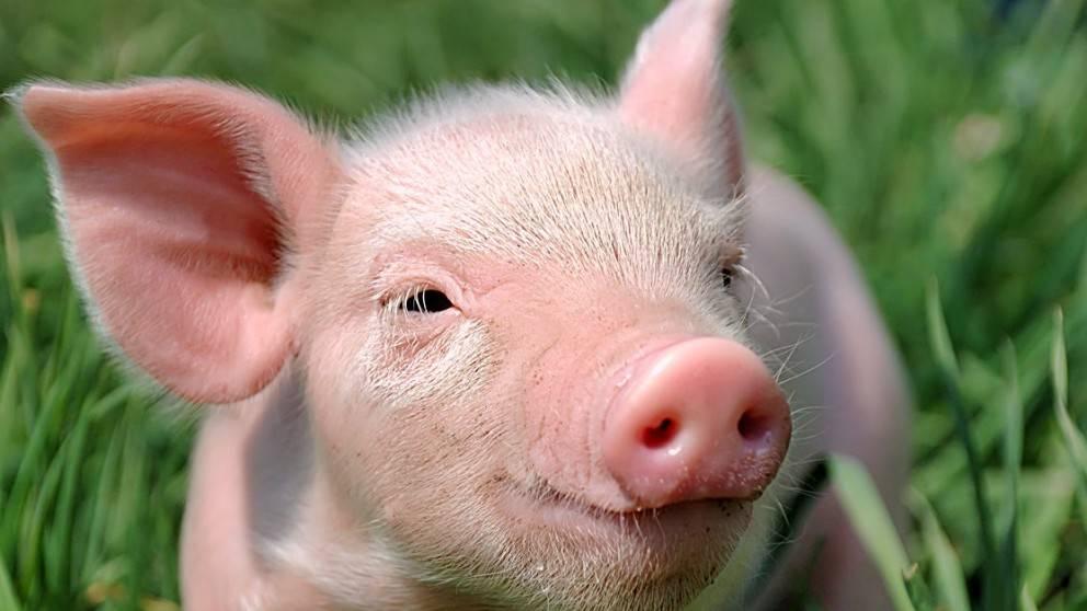 Маловідомі факти про свиней