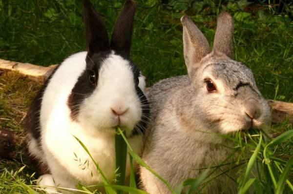 Профілактика хвороб і лікування кроликів