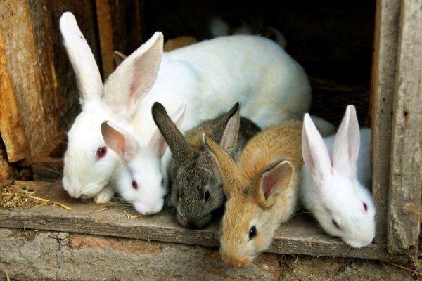 Біологія кроликів: особливості розвитку