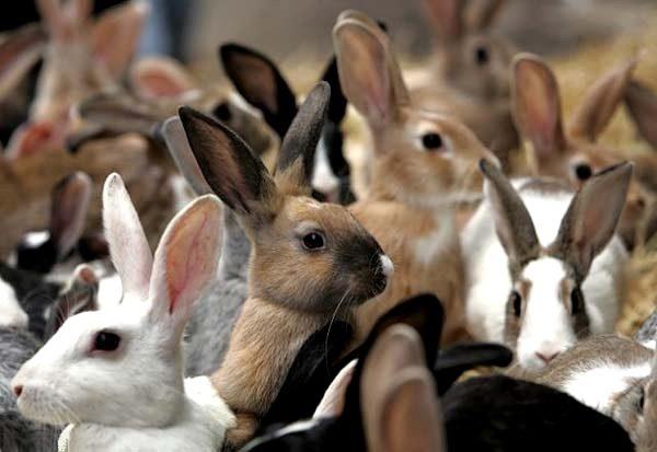 Способи парування кролів