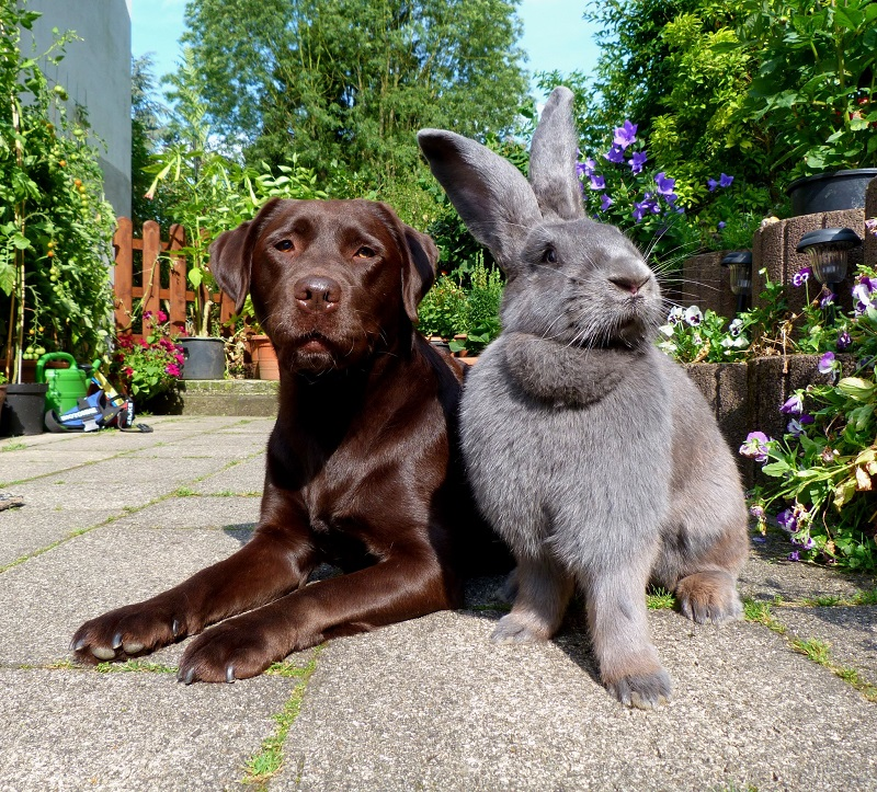 Породи кролів велетнів