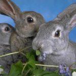 3718 Чистопородне розведення кроликів