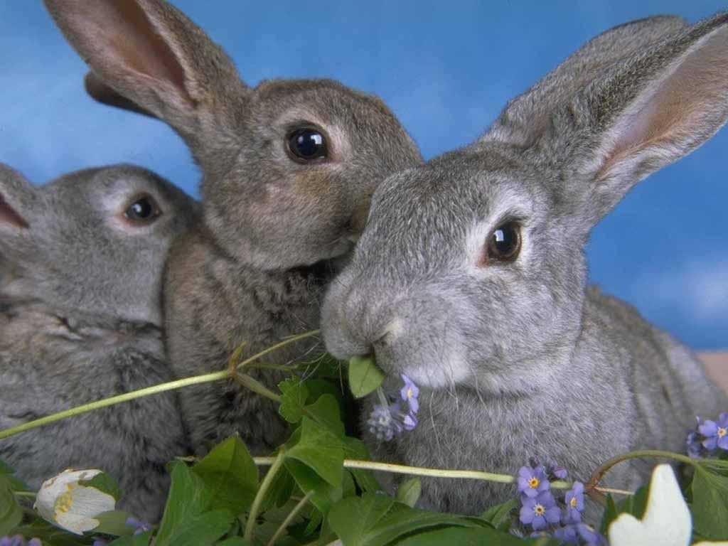Чистопородне розведення кроликів