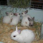 3903 Розведення кроликів в домашніх умовах