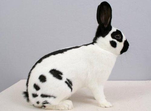 Огляд порід кроликів
