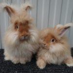 3905 Популярні породи кролів: фландр