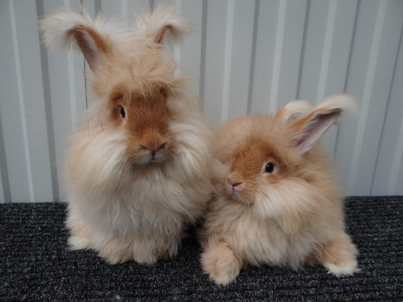 3905 Огляд порід кроликів