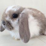 3916 Породи декоративних і карликових кроликів