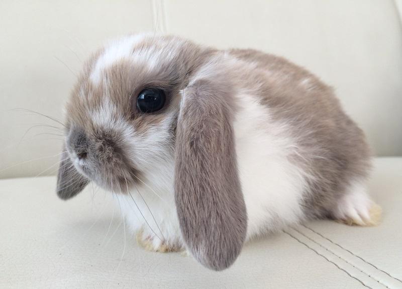 Породи декоративних і карликових кроликів