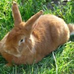 4062 М'ясні породи кроликів