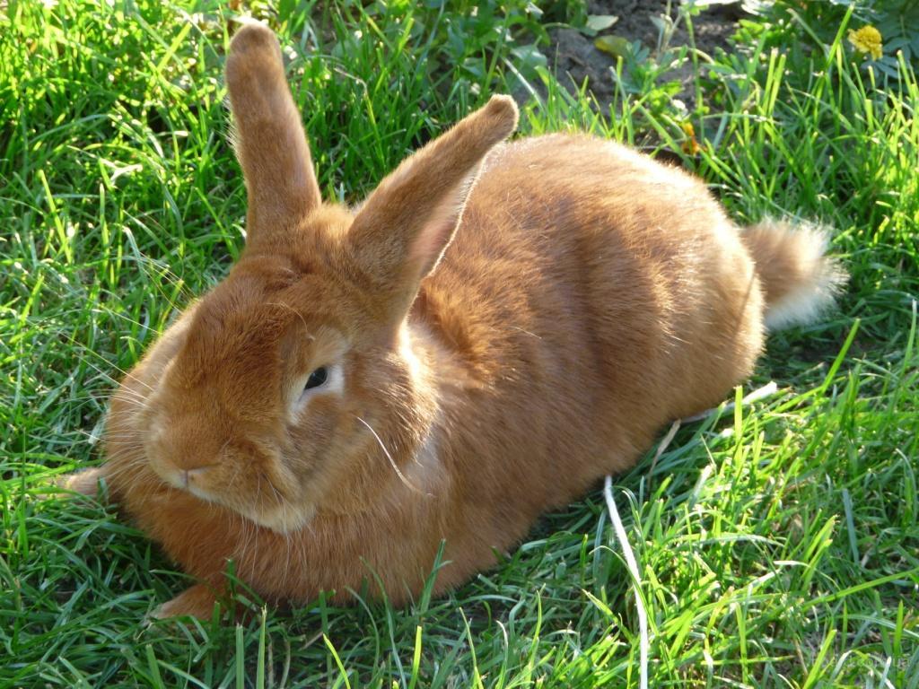 Краща порода кроликів