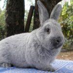 4063 М'ясні породи кроликів