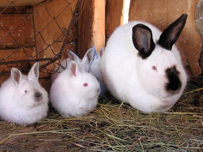 М'ясні породи кроликів