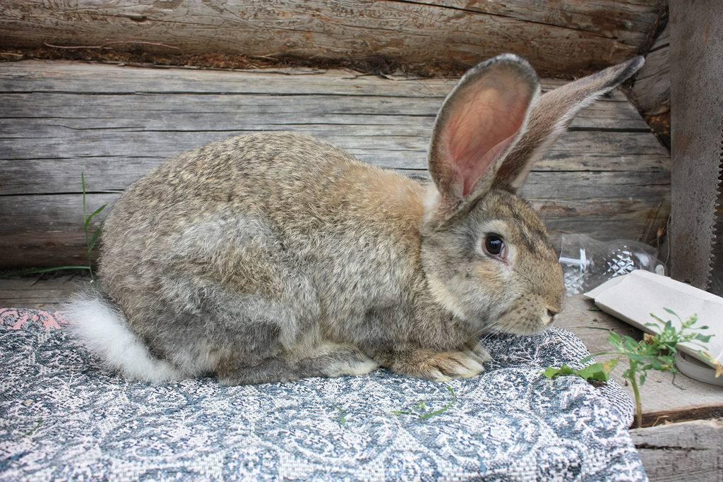 Популярні породи кролів: фландр