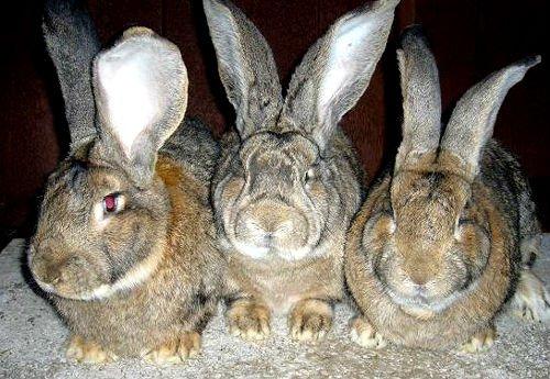 4069 Популярні породи кролів: фландр