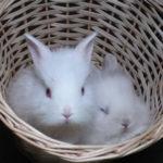 4292 Зміст декоративних кроликів