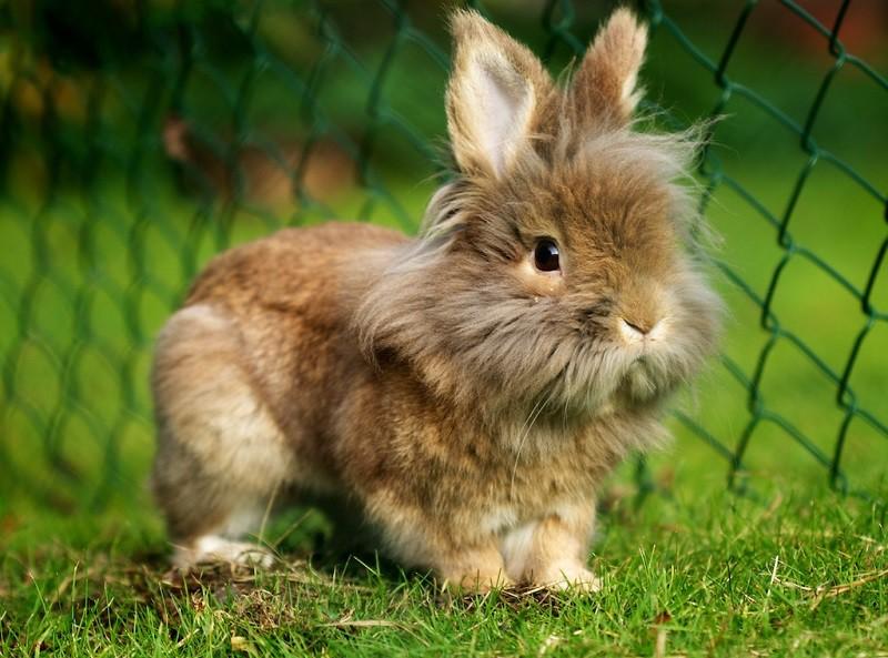 Зміст декоративних кроликів