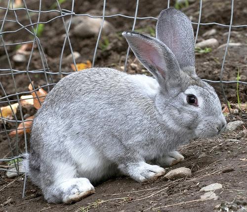 Хвороби кроликів