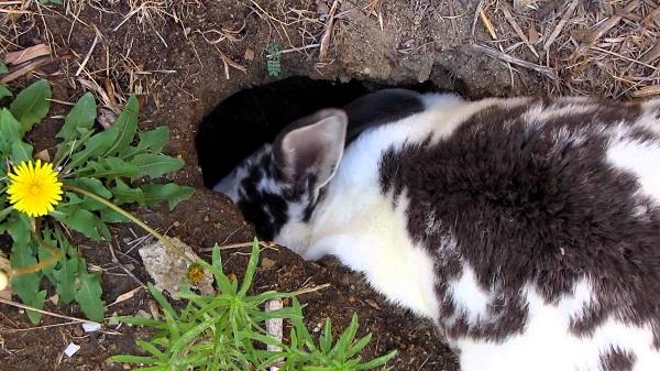Вирощування кролів в ямі