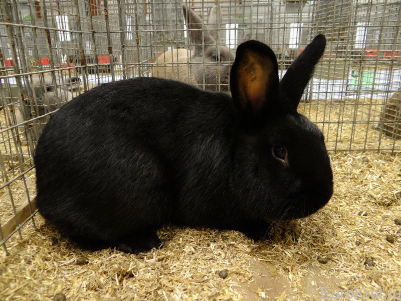 Кролики — акселерати