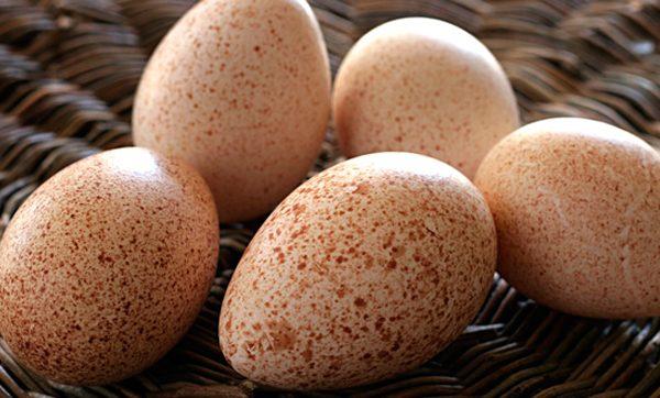 Правила інкубації індичих яєць