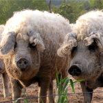 7058 Порода свиней Угорська Мангалиця