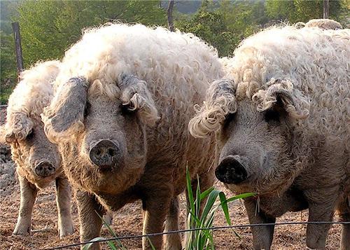 Порода свиней Угорська Мангалиця