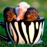 7066 Породи свиней Міні-пігів