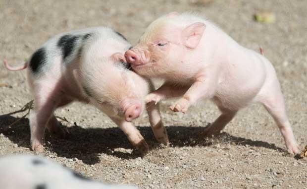 Породи свиней Міні-пігів
