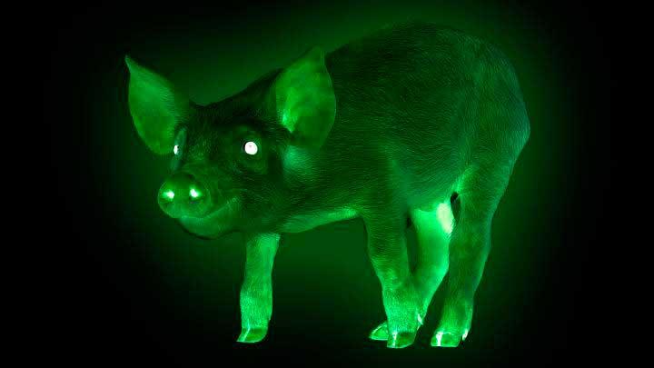Порода свиней Тайванські Зелені Сяючі