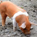 7243 Порода свиней Данські протестні