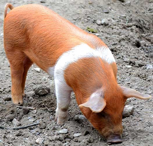 Порода свиней Данські протестні