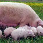 7534 Порода свиней Ландрас